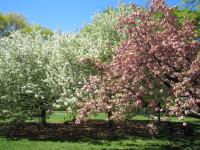 Cherryblooms